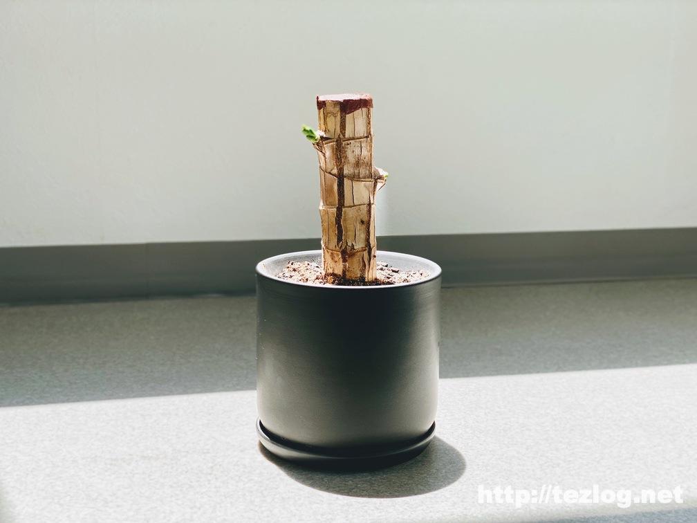 幸福の木 原木を植えて2週間