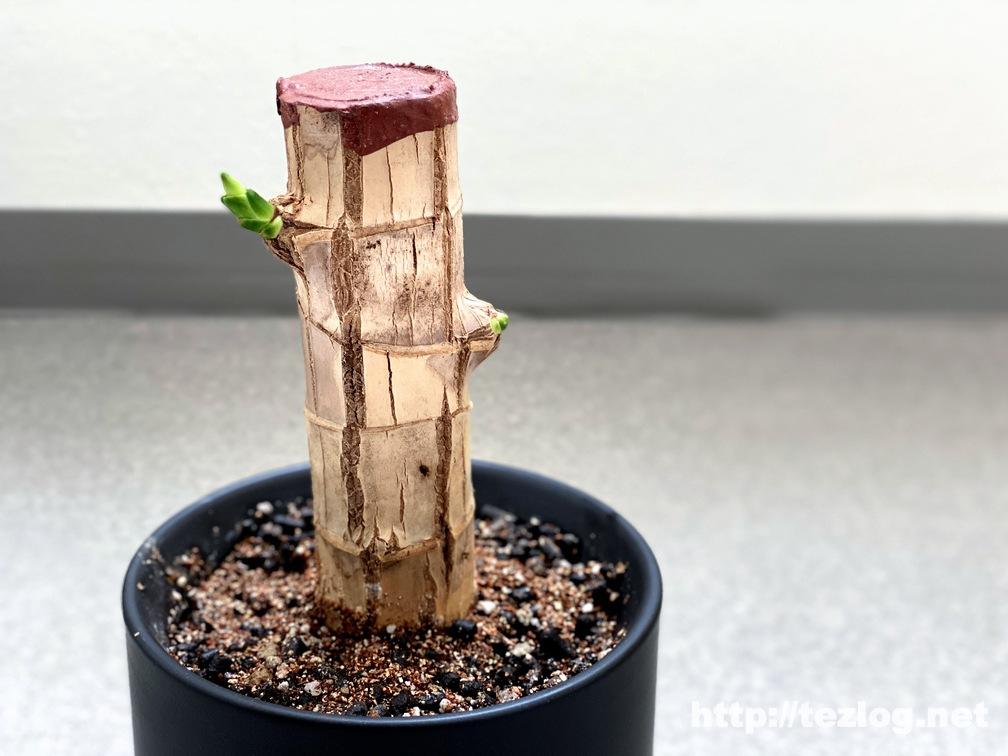 幸福の木 原木を植えて20日