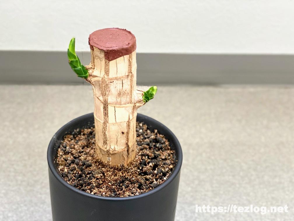 幸福の木 原木を植えて40日