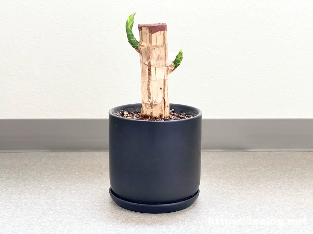 幸福の木 原木を植えて50日