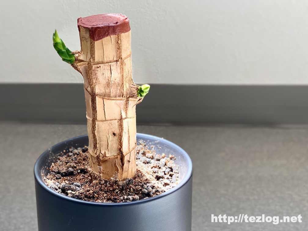 幸福の木 原木を植えて30日