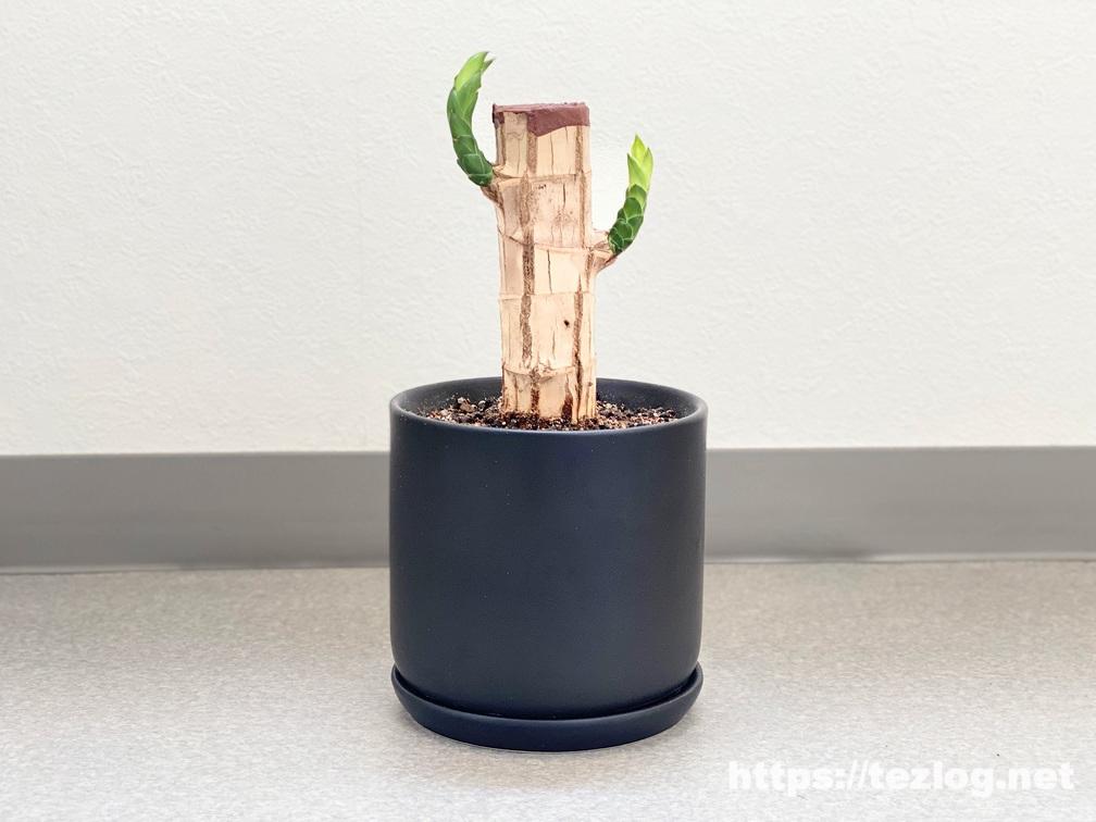 幸福の木 原木を植えて2ヶ月後
