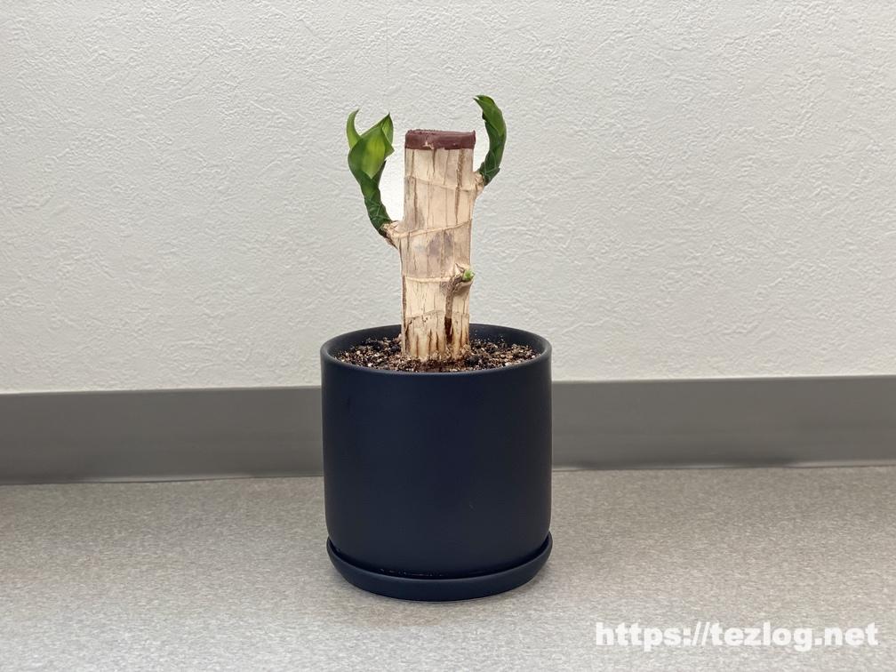 幸福の木 原木を植えて100日目