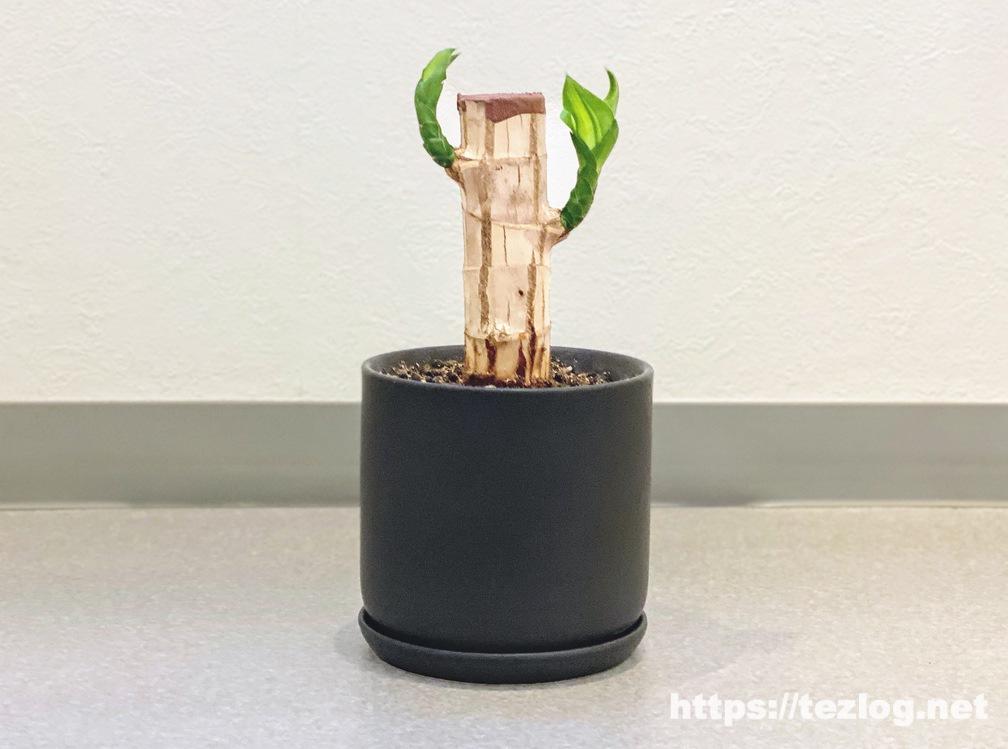 幸福の木 原木を植えて80日目