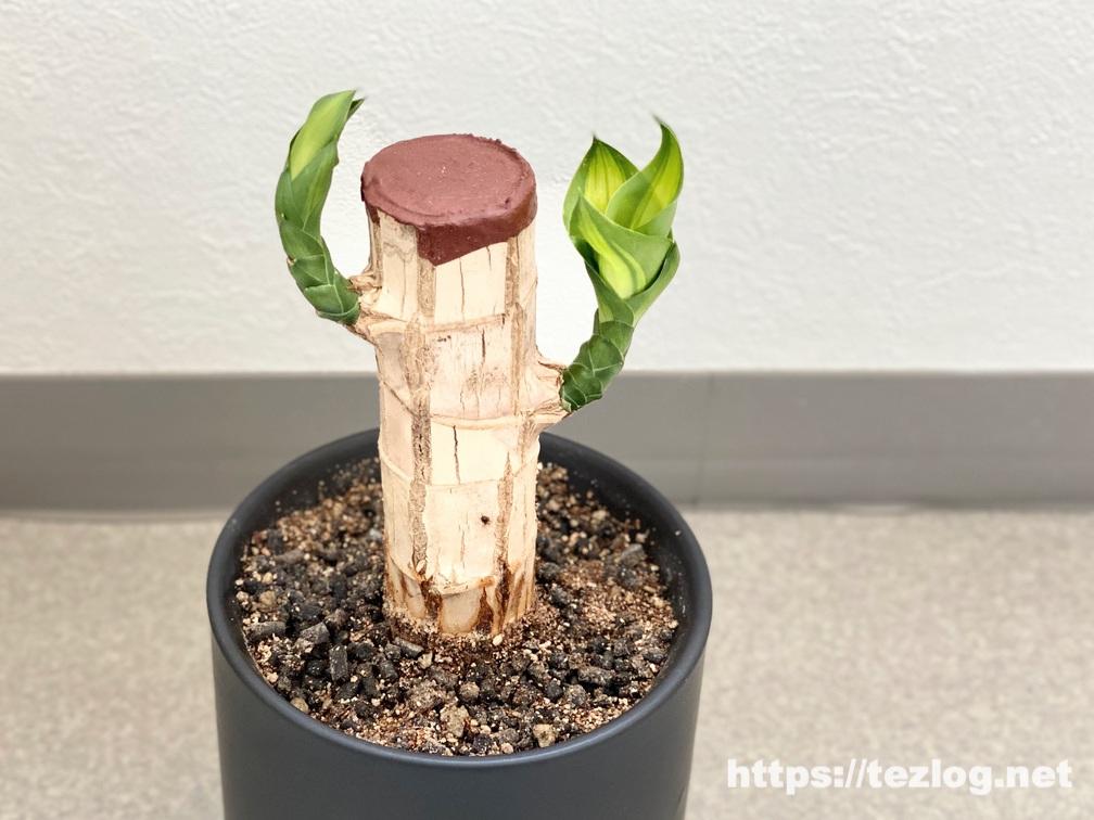 幸福の木 原木を植えて90日目