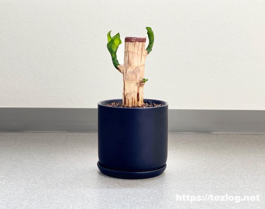 幸福の木 原木を植えて110日目
