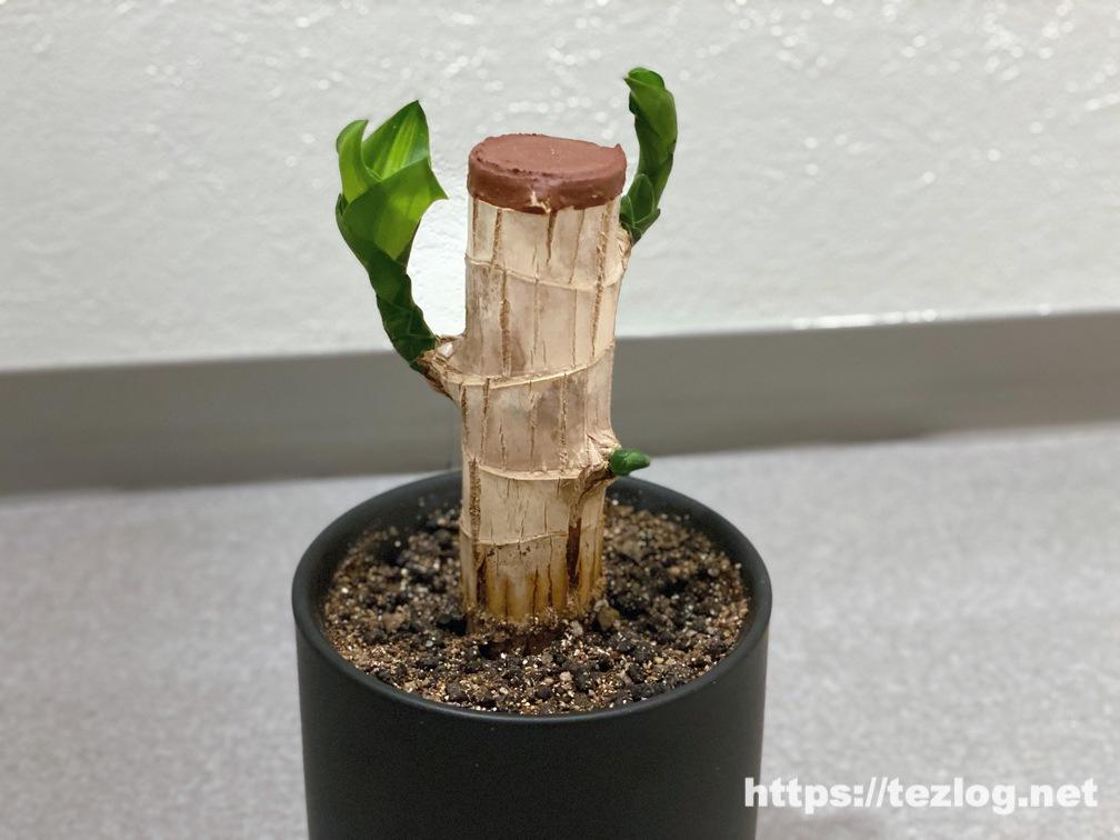 幸福の木 原木を植えて120日目