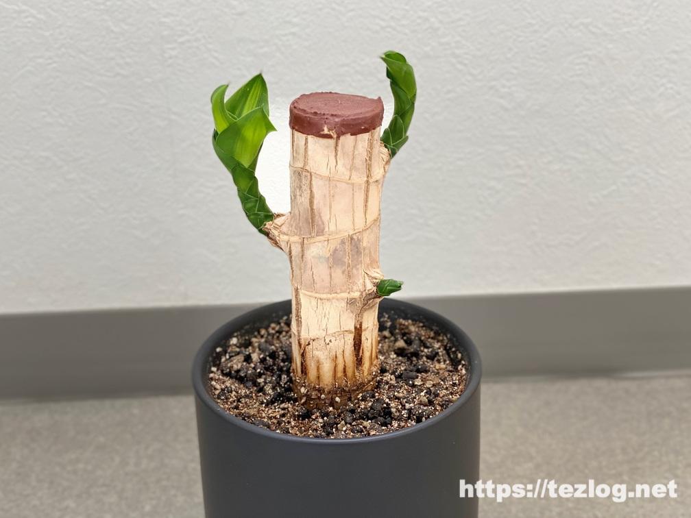 幸福の木 原木を植えて130日目